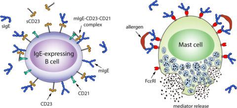 Immunoglobulin E antibody test
